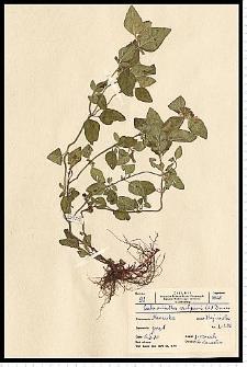 Clinopodium vulgare L.
