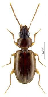 Trechus quadristriatus (Schrank, 1781)