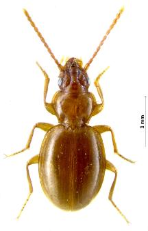 Trechus pulchellus (Putzeys, 1845b)