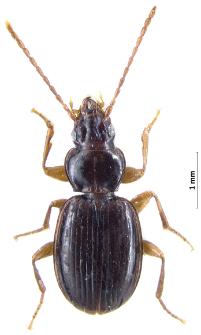 Trechus pilisensis (Csiki, 1918)