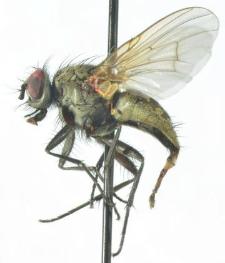 Helina trivittata (Zetterstedt, 1860)