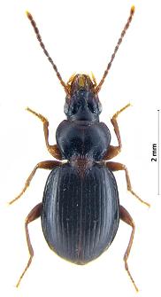 Trechus latus (Putzeys, 1847)