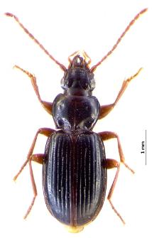Trechus amplicollis (Fairmaire, 1859h)