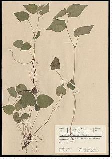 Viola riviniana Rchb.