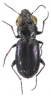Notiophilus palustris (Duftschmid, 1812)