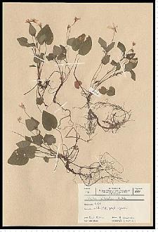 Viola reichenbachiana Jord. ex Boreau