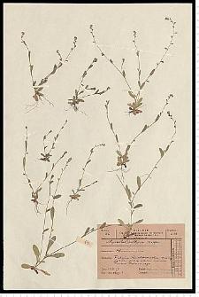 Myosotis ramosissima Rochel