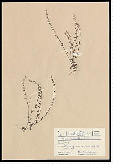 Myosotis stricta Link ex Roem. & Schult.