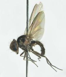 Fannia parva (Stein, 1895)