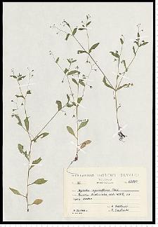 Myosotis sparsiflora Pohl