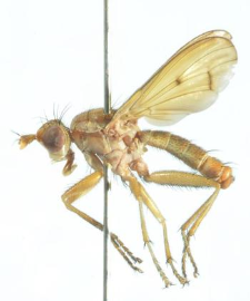 Tetanocera montana Day, 1881