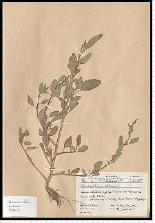 Chenopodium strictum Roth
