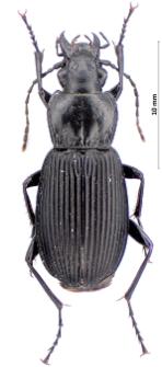 Pterostichus niger (Schaller, 1783)