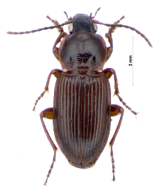 Pterostichus vernalis (Panzer, 1796a)