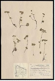 Chrysosplenium alternifolium L.