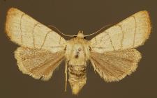 Charanyca trigrammica (Hufnagel, 1766)