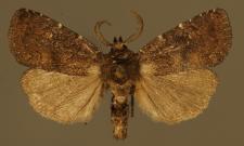 Charanyca ferruginea (Esper, 1785)