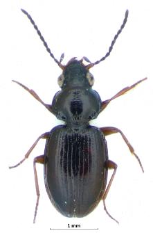 Bembidion obtusum (J.G. Audinet-Serville, 1821)