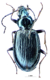 Bembidion punctulatum (Drapiez, 1820c)