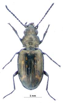Bembidion obliquum (J. Sturm, 1825)