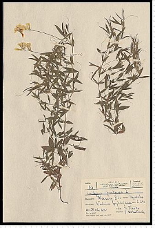 Lathyrus pratensis L.