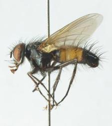Thelaira nigripes (Fabricius, 1794)