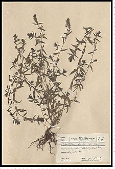 Odontites serotina (Lam.) Rchb. s. s.