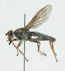 Hydromyza livens (Fabricius, 1794)