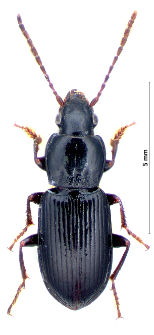 Pterostichus ovoideus (J. Sturm, 1824)