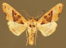 Phlogophora meticulosa (Linnaeus, 1758)