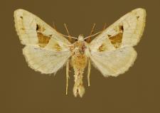 Phlogophora scita (Hübner, 1790)