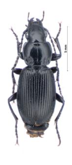 Pterostichus aethiops (Panzer, 1796d)