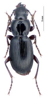 Pterostichus madidus (Fabricius, 1775)