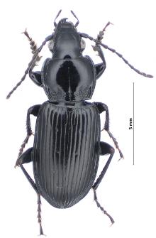 Pterostichus nigrita (Paykull, 1790)