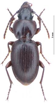 Pterostichus illigeri sudeticus Gerhardt, 1909