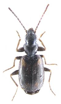 Syntomus obscuroguttatus (Duftschmid, 1812)