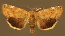 Cosmia affinis (Linnaeus, 1767)