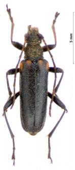Cortodera humeralis (Schaller, 1783)