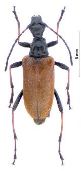 Euracmaeops marginatus (Fabricius, 1781)