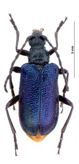 Carilia virginea (Linnaeus, 1758)