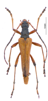Stenocorus meridianus (Linnaeus, 1758)