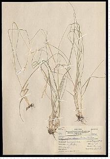 Danthonia decumbens DC.