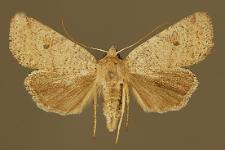 Agrochola lota (Clerck, 1759)