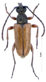 Pseudovadonia livida (Fabricius, 1777)
