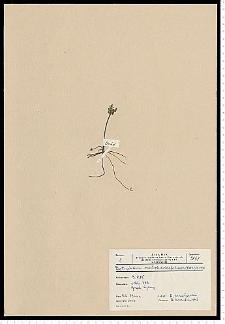 Botrychium matricariifolium (Retz.) A. Braun ex W. D. J. Koch