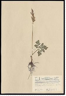 Botrychium multifidum (S. G. Gmel.) Rupr.