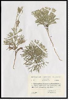 Diphasiastrum tristachyum (Pursh) Holub