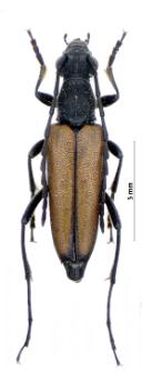 Anastrangalia reyi(L. von Heyden, 1889)