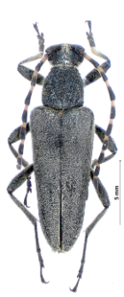 Lepturobosca virens(Linnaeus, 1758)