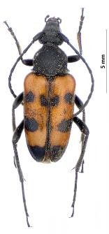 Pachytodes erraticus (J.W. Dalman, 1817)